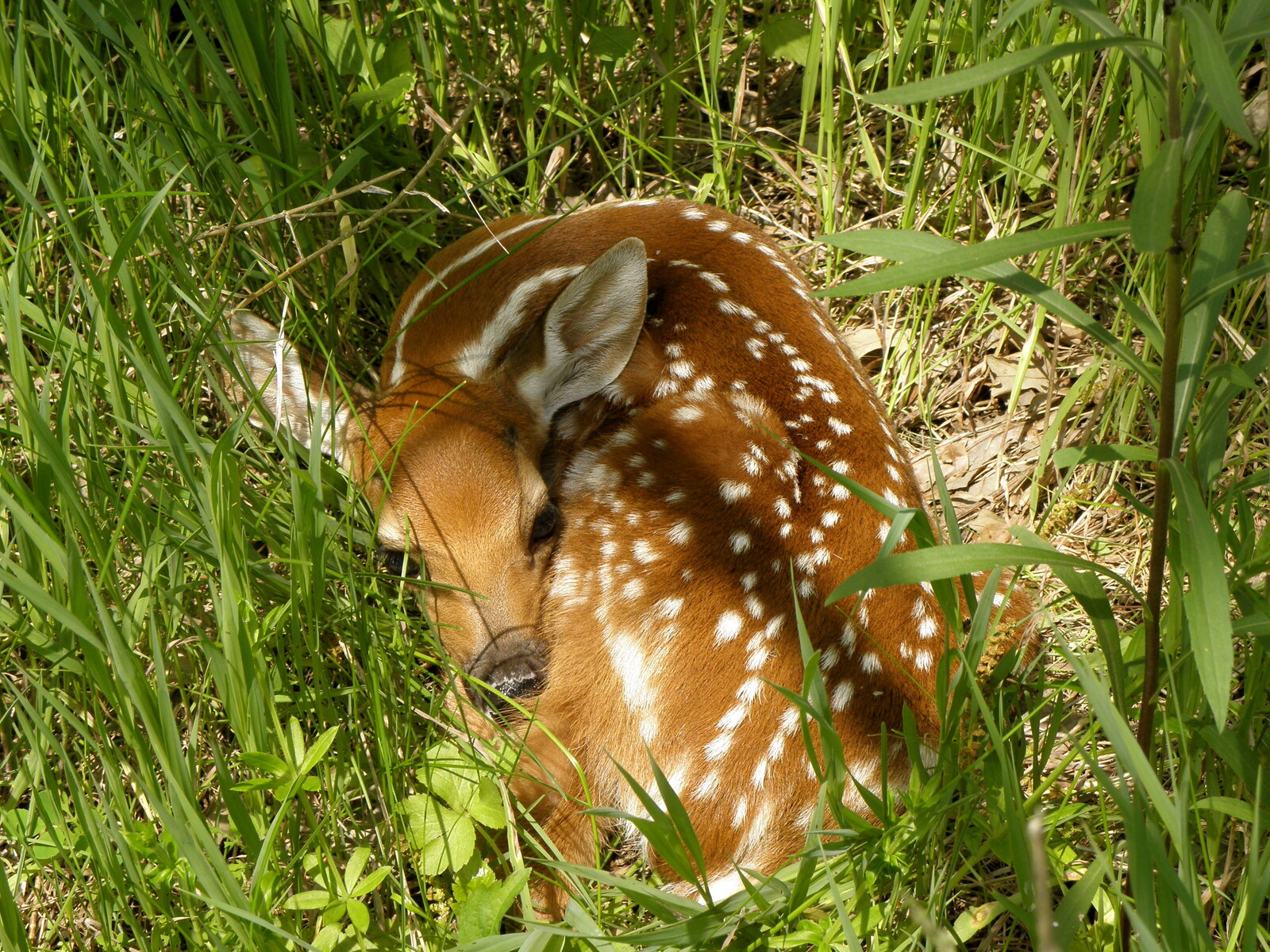 Fawn Time!